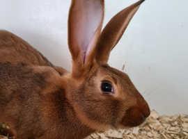 Baby Belgium hares
