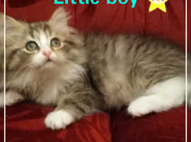 Male Siberian kitten for sale