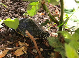 WANTED-yellow bellied slider