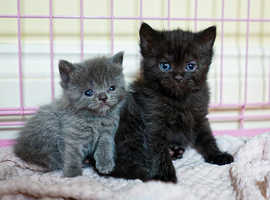 British Shorthaired x Mainecoon kittens only 1 girl left available to reserve
