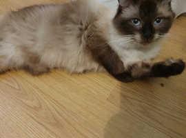 Ragdolls kittens available