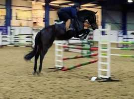 Super talented Italian warmblood