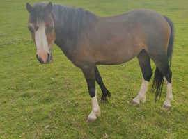 Welsh Section A 3 year old gelding