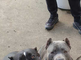 Pocket bully need rehoming