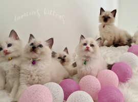 Ragdoll Beautiful Indoor Kittens