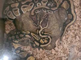 Royal Ball Python Snakes x2 (M/F)