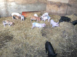 Large White x Pedigree Duroc Weaners