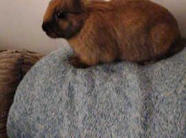 11 weeks old rabbits