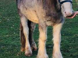 Stunning blue blagdon youngster