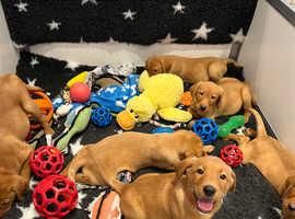 Stunning KC Fox Red Labrador Puppies