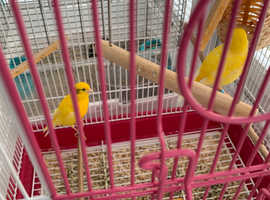 Canaries for Sale with cages