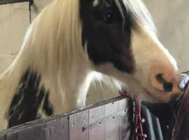 Gorgeous 13.2 chunky cob mare