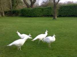 White peafowl for sale