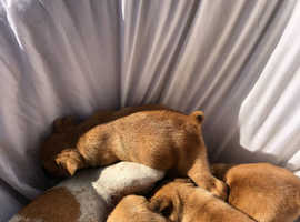 Jug puppies 4sale