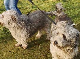Glen of Imaal Terrier pups (**rare Irish breed**)