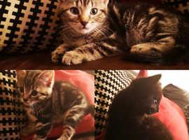 3 Gorgeous 9 Week Old Kittens