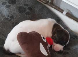 Staffordshire bull terrier x shar pei
