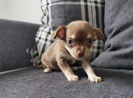 Chihuahua pups 1 boy left