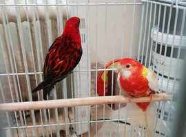Rosella parrot for sale.
