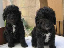 KC Reg Bedlington Terrier Puppies