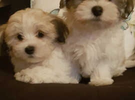 HAVANESE x MALTESE brend cross