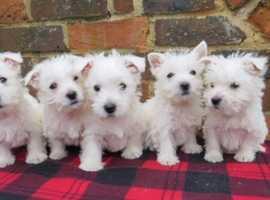 West highland white terrier puppies
