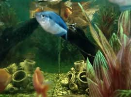 Blue Rainbowfish/ Melanotaenia lacustris