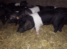Saddleback weaners for sale