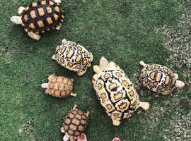 Captive Bred babies, juveniles and young adults snow white leopard tortoises and sulcatas for sale