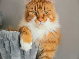 Maine coon for Rehome