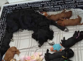 F1b sproodle puppies for sale