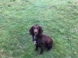 Beautiful sprocker girl