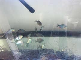 15 piranhas
