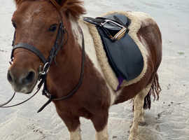 Shetland pony loan