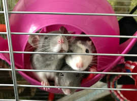 Female rats and large cage for sale