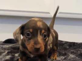 5 Beautiful Miniture Dachshund Puppies