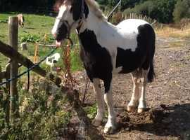 Stunning tb x cob black and white gelding