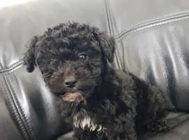 BEAUTIFUL Poodle cross puppies