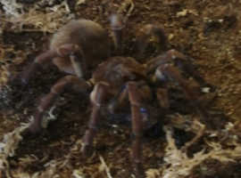 Burgundy Goliath birdeater