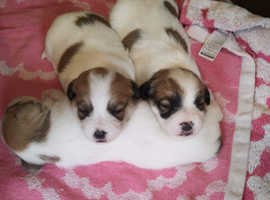 Jack Russell x bichion friez pups