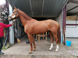 Top Class Anglo-Arab horse crossed with Selle Fran§ais