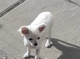 I have my beautiful chi for sale