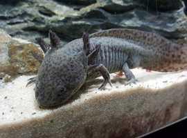 Axolotl Salamanders