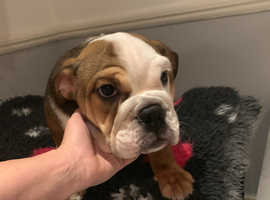 English bulldog bitch £1500