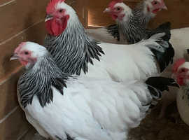 Traditional Light Sussex pullets
