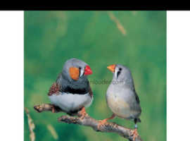 Zebra finch canaries for sale in london
