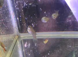 Endler guppy breeding pairs