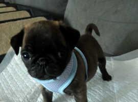 Silver boy pug puppy