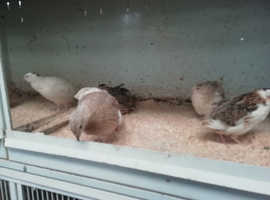 Japanese quail hens