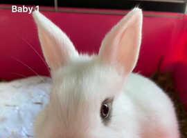 White with blue eyes netherland dwarf baby